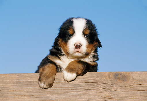 PUP 17 CB0003 01 © Kimball Stock Bernese Mountain Dog Puppy Leaning On Wooden Bench