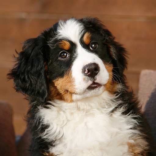PUP 17 CB0004 01 © Kimball Stock Portrait Of Bernese Mountain Dog Puppy Sitting On Cushions