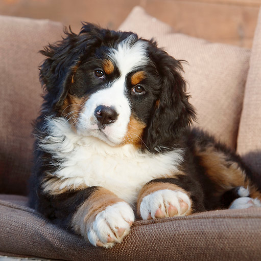 PUP 17 CB0005 01 © Kimball Stock Bernese Mountain Dog Puppy Laying On Cushions