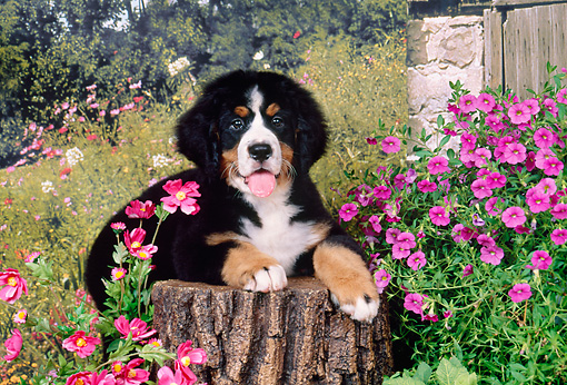PUP 17 FA0001 01 © Kimball Stock Bernese Mountain Dog Puppy Laying On Stump By Flowers