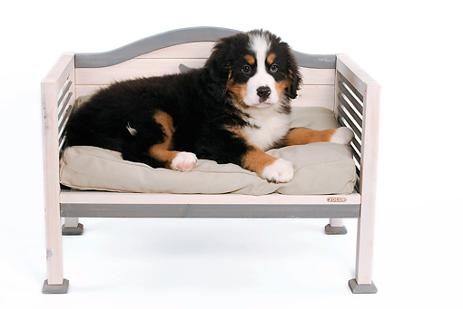 PUP 17 JE0001 01 © Kimball Stock Bernese Mountain Dog Puppy Laying On Bench On White Seamless