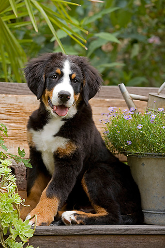 PUP 17 JE0003 01 © Kimball Stock Bernese Mountain Dog Puppy Sitting On Bench With Planter Box With Purple Daisies