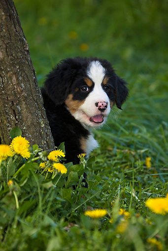 PUP 17 KH0001 01 © Kimball Stock Bernese Mountain Dog Puppy Sitting In Grass Behind Tree Trunk