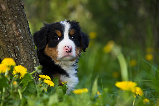 PUP 17 KH0002 01 © Kimball Stock Bernese Mountain Dog Puppy Sitting In Grass Behind Tree Trunk