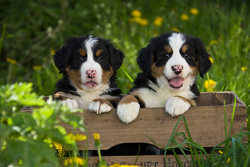 PUP 17 KH0003 01 © Kimball Stock Bernese Mountain Dog Puppies Sitting In Wooden Crate