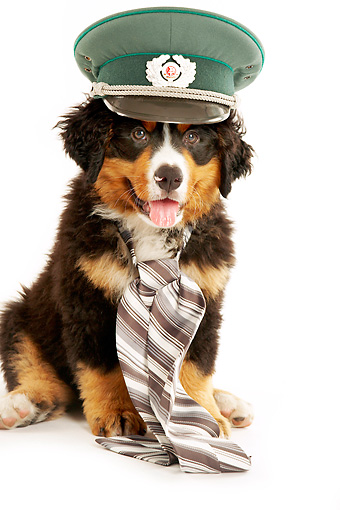 PUP 17 MQ0001 01 © Kimball Stock Humorous Bernese Mountain Dog Puppy Wearing Hat And Necktie On White Background