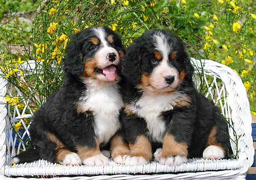 PUP 17 SJ0001 01 © Kimball Stock Bernese Mountain Dog Puppies Sitting On White Bench In Garden