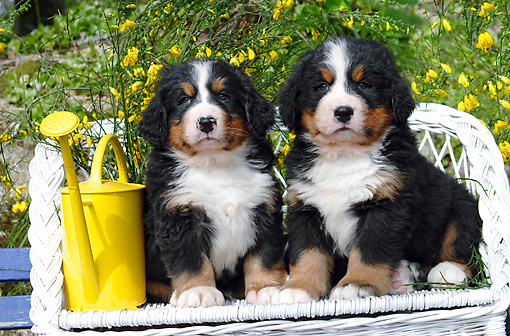 PUP 17 SJ0003 01 © Kimball Stock Bernese Mountain Dog Puppies Sitting On White Bench In Garden
