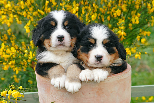 PUP 17 SJ0006 01 © Kimball Stock Bernese Mountain Dog Puppies Sitting In Flower Pot In Garden