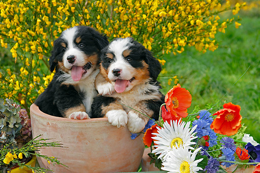 PUP 17 SJ0007 01 © Kimball Stock Bernese Mountain Dog Puppies Sitting In Flower Pot In Garden