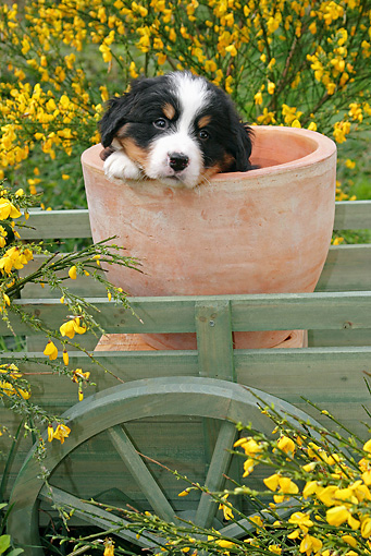 PUP 17 SJ0009 01 © Kimball Stock Bernese Mountain Dog Puppy Sitting In Flower Pot In Garden