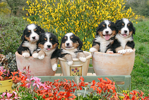 PUP 17 SJ0010 01 © Kimball Stock Bernese Mountain Dog Puppies Sitting In Flower Pots In Garden
