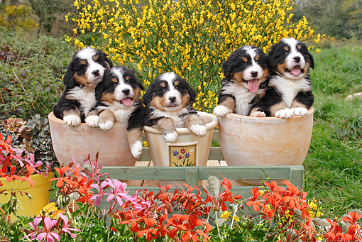PUP 17 SJ0011 01 © Kimball Stock Bernese Mountain Dog Puppies Sitting In Flower Pots In Garden