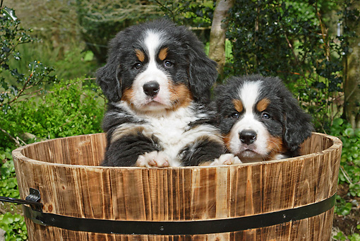PUP 17 SJ0012 01 © Kimball Stock Bernese Mountain Dog Puppies Sitting In Wooden Bucket