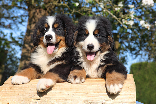 PUP 17 SJ0022 01 © Kimball Stock Two Bernese Mountain Dog Puppies Leaning On Log By Blossoming Tree