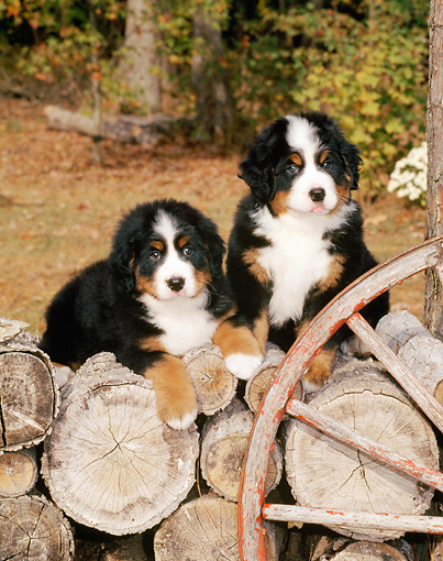 PUP 17 CE0002 01 © Kimball Stock Two Bernese Mountain Dog Puppies Sitting On Woodpile By Wagon Wheel