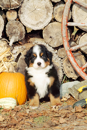 PUP 17 CE0003 01 © Kimball Stock Bernese Mountain Dog Puppy Sitting By Woodpile Pumpkin And Wagon Wheel