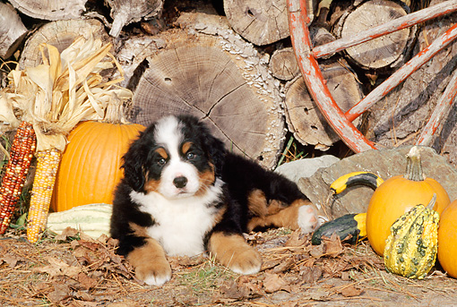 PUP 17 CE0004 01 © Kimball Stock Bernese Mountain Dog Puppy Laying By Woodpile Pumpkin And Wagon Wheel