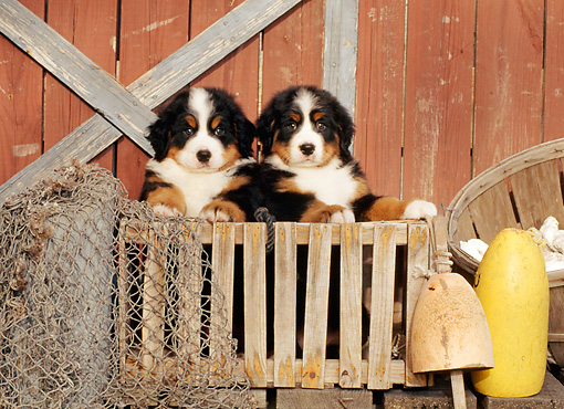 PUP 17 CE0007 01 © Kimball Stock Two Bernese Mountain Dog Puppies Standing Inside Wooden Crate By Boathouse