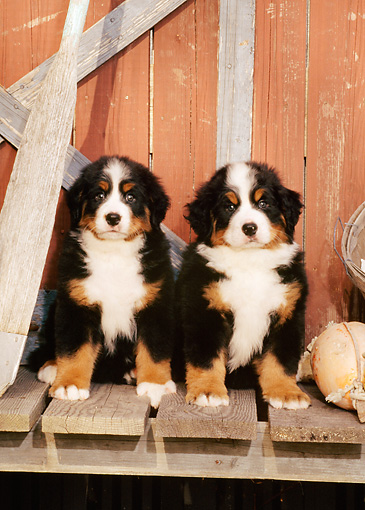 PUP 17 CE0008 01 © Kimball Stock Two Bernese Mountain Dog Puppies Sitting On Dock By Boathouse And Oar
