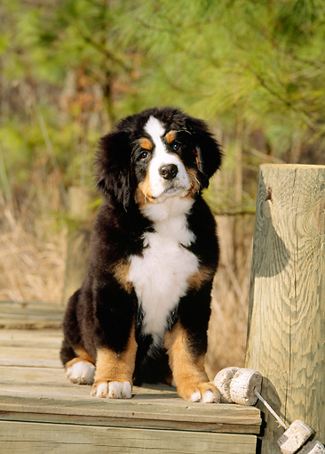 PUP 17 CE0011 01 © Kimball Stock Bernese Mountain Dog Puppy Sitting On Dock