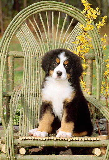 PUP 17 CE0012 01 © Kimball Stock Bernese Mountain Dog Puppy Sitting On Twig Chair