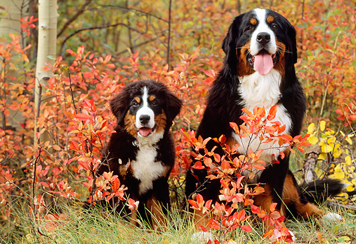 PUP 17 LS0001 01 © Kimball Stock Bernese Mountain Dog Adult And Puppy Sitting By Autumn Shrubs