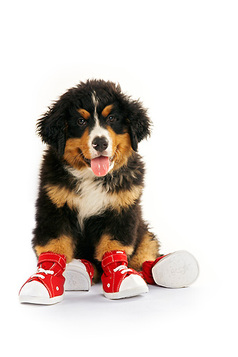 PUP 17 MQ0002 01 © Kimball Stock Humorous Bernese Mountain Dog Puppy Wearing Red Sneakers On White Background