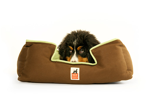 PUP 17 MQ0003 01 © Kimball Stock Humorous Bernese Mountain Dog Puppy Hiding In Dog Bed On White Background