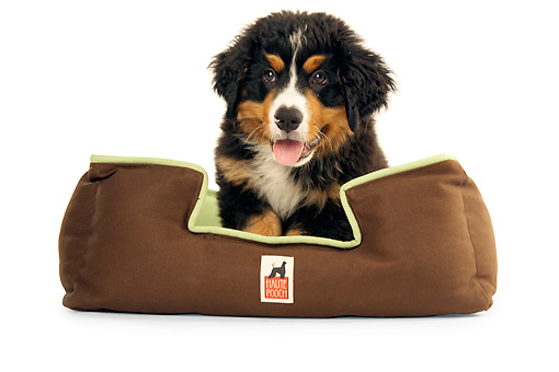PUP 17 MQ0004 01 © Kimball Stock Bernese Mountain Dog Puppy Sitting In Dog Bed On White Background