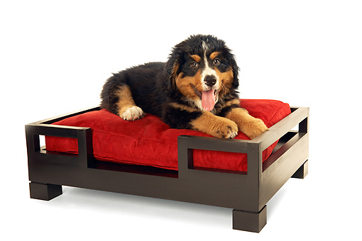 PUP 17 MQ0005 01 © Kimball Stock Bernese Mountain Dog Puppy Laying On Dog Bed On White Background