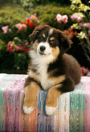 PUP 17 RC0002 01 © Kimball Stock Bernese Mountain Dog Puppy Laying On Table By Flowers Shrubs