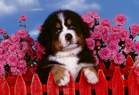 PUP 17 RK0016 01 © Kimball Stock Head Shot Of Bernese Mountain Puppy Peeking Over Fence With Pink Flowers