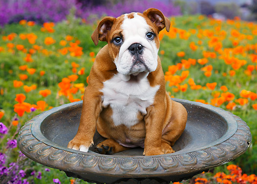 PUP 18 BK0002 01 © Kimball Stock English Bulldog Puppy Sitting In Birdbath By Poppies