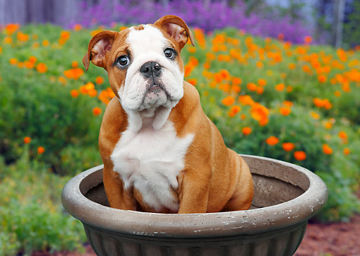 PUP 18 BK0003 01 © Kimball Stock English Bulldog Puppy Sitting In Flower Pot By Poppies