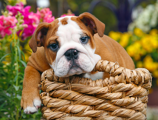 PUP 18 BK0005 01 © Kimball Stock English Bulldog Puppy Laying In Wicker Basket By Flowers