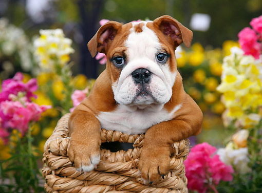 PUP 18 BK0006 01 © Kimball Stock English Bulldog Puppy Laying In Wicker Basket By Flowers
