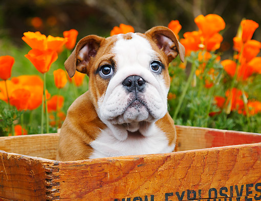 PUP 18 BK0008 01 © Kimball Stock English Bulldog Puppy Sitting In Wooden Box By Poppies