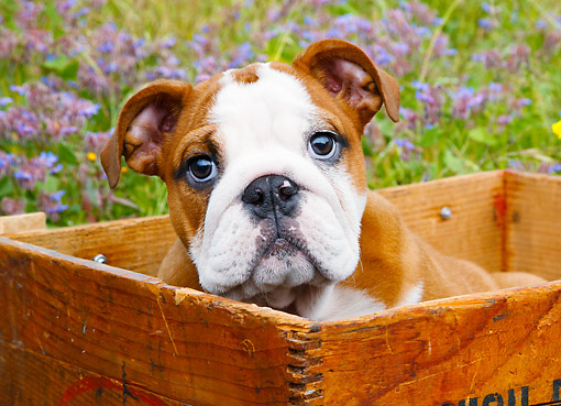 PUP 18 BK0009 01 © Kimball Stock English Bulldog Puppy Sitting In Wooden Box By Flowers