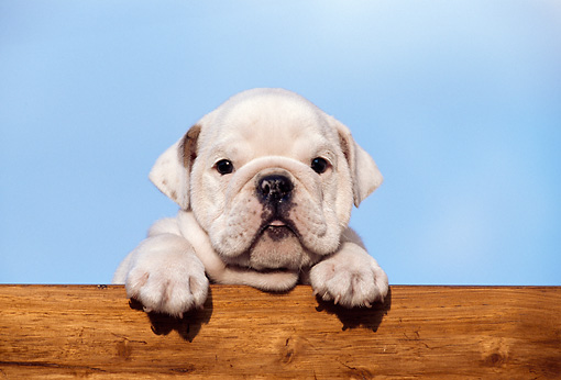 PUP 18 CB0002 01 © Kimball Stock English Bulldog Puppy Leaning Over Wooden Railing