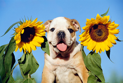 PUP 18 CB0004 01 © Kimball Stock English Bulldog Puppy Sitting By Sunflowers