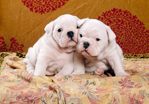PUP 18 CB0011 01 © Kimball Stock Two English Bulldog Puppies Sitting On Blanket