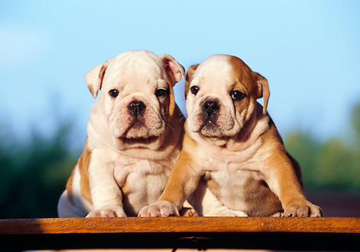 PUP 18 CB0012 01 © Kimball Stock Two English Bulldog Puppies Sitting On Deck