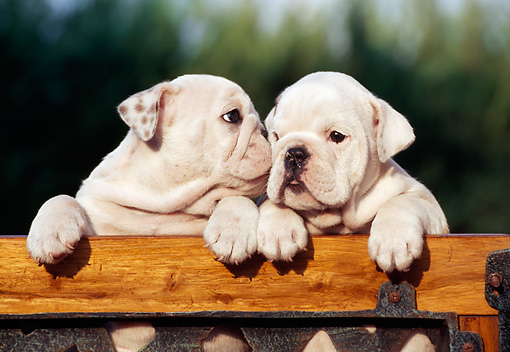 PUP 18 CB0013 01 © Kimball Stock Two English Bulldog Puppies Leaning On Railing