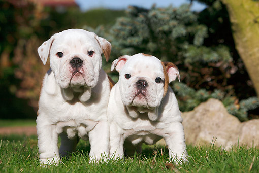 PUP 18 CB0015 01 © Kimball Stock Two English Bulldog Puppies Standing On Grass
