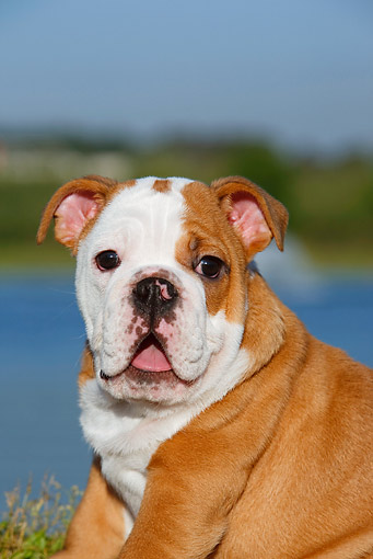 PUP 18 CB0021 01 © Kimball Stock Portrait Of English Bulldog Puppy Sitting On Grass By Water
