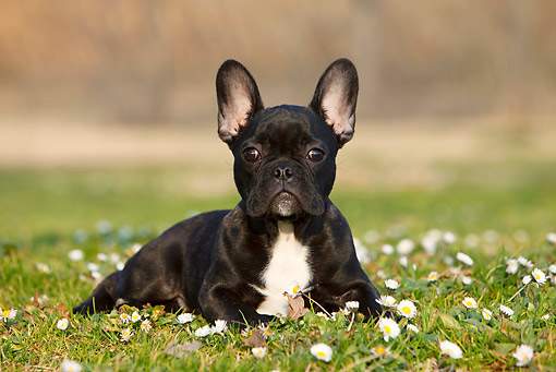 PUP 18 CB0025 01 © Kimball Stock French Bulldog Puppy Laying On Grass And Flowers