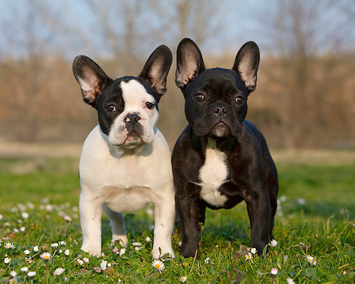PUP 18 CB0026 01 © Kimball Stock Two French Bulldog Puppies Standing On Grass And Flowers