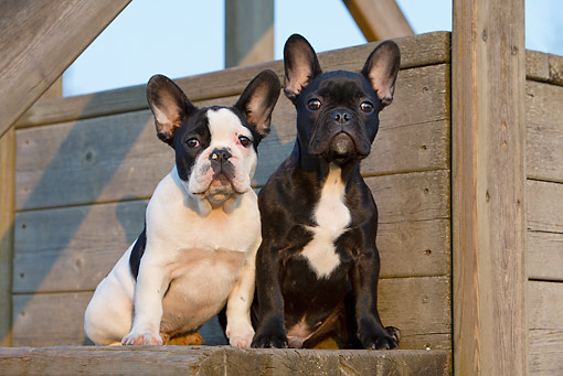 PUP 18 CB0027 01 © Kimball Stock Two French Bulldog Puppies Sitting On Wooden Bench