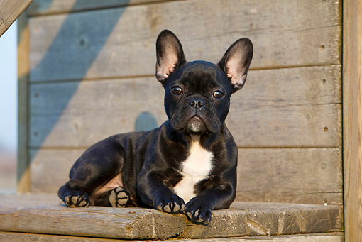 PUP 18 CB0028 01 © Kimball Stock French Bulldog Puppy Laying On Wooden Bench